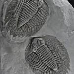 Trilobites of Caleb's Quarry