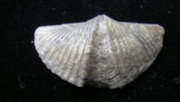 Fossil -Brachiopod For Sale- Mucrospirifer mucronatus
