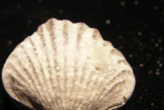 Brachiopod For Sale - Orthorhynchula linneyi