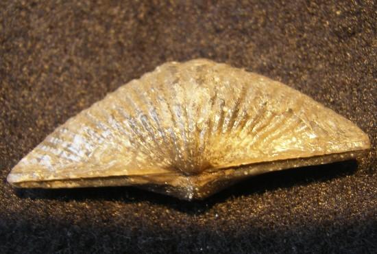 Mucrospirifer Mucronatus Brachiopod - Buffalo, NY - For Sale