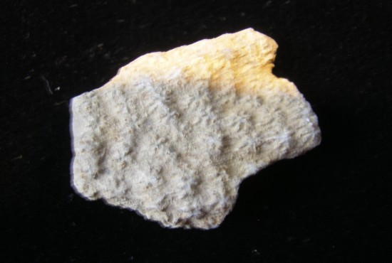 Constellaria Florida Star Bryozoa - Ordovician - Cincinnati, Ohio - For Sale