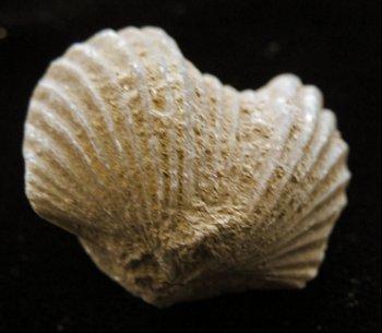 brachiopod - playstrophia clarksvillensis -cincinnati