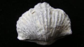 Brachiopod - Platystrophia Ponderosa