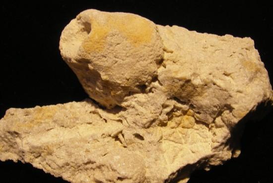 Crinoid Calyx - Eucalyptocrinites - Waldron, Indiana - For Sale