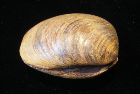 Fossilized Clam - Madagascar - For Sale