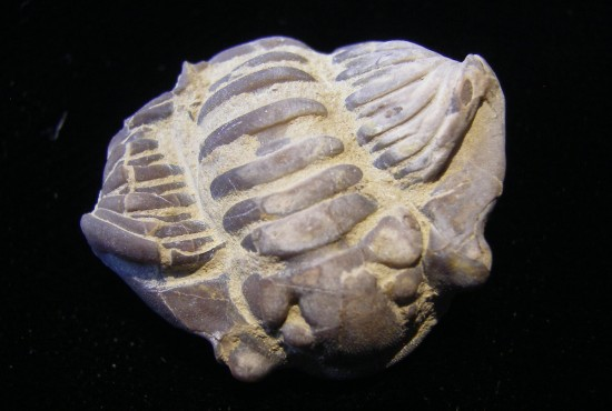 Trilobite - Flexicalymene meeki - Cincinnati, Ohio - For Sale - Fossils-Crystals.com